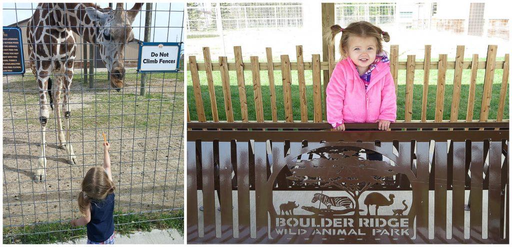 toddler girl standing on a bench and feeding a giraffe at Boulder Ridge