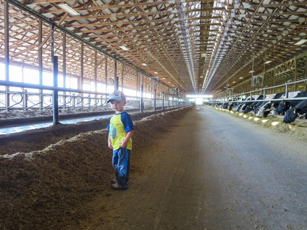 toddler boy standing amidst cows in a barn at Dairy Discovery