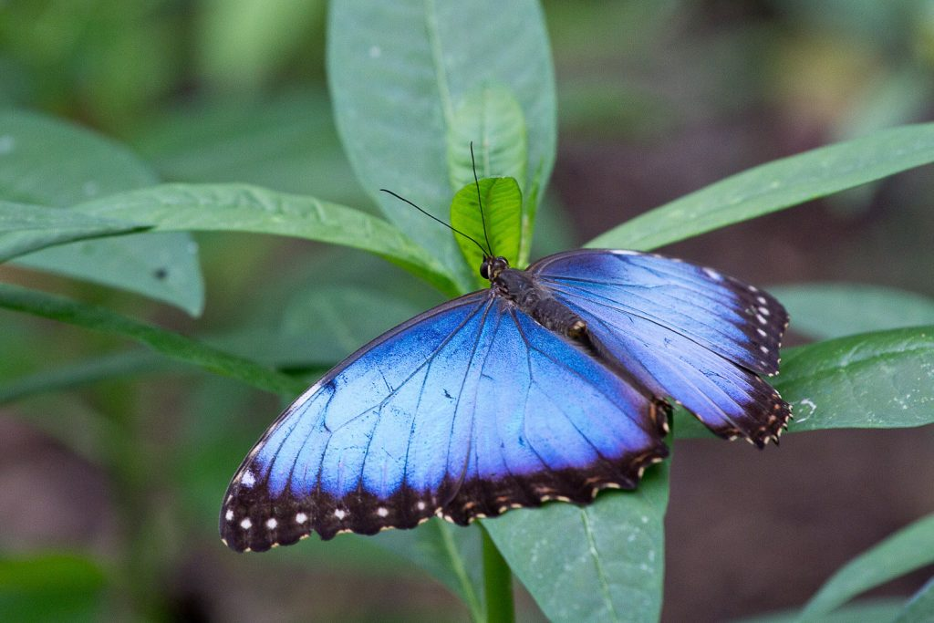 close up of a blue-winged butterfly resting on a green leaf